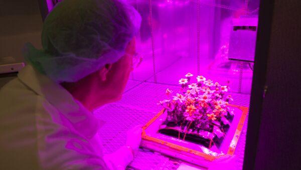 Ученый собирает астры, выращенные в земной версии космической фермы Veggie