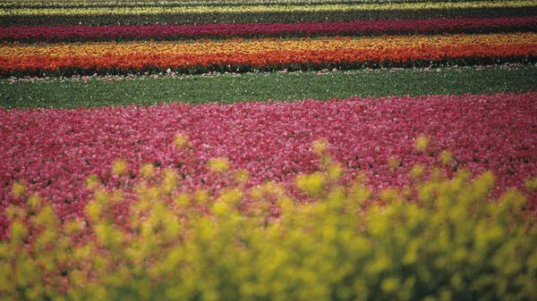 Поле голландских тюльпанов. Королевство Нидерланды.