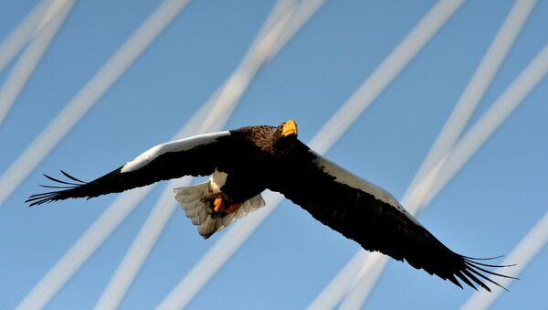 Белоплечий (тихоокеанский) орлан. Архивное фото