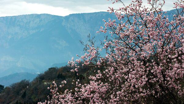 Цветущий миндаль на фоне гор в окрестностях Алупки