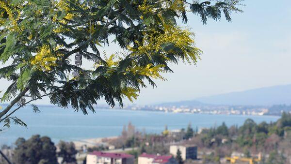 Цветение мимозы в Абхазии. Архивное фото