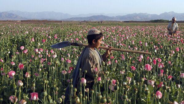 Сбор мака в Кандагаре, Афганистан. Архивное фото