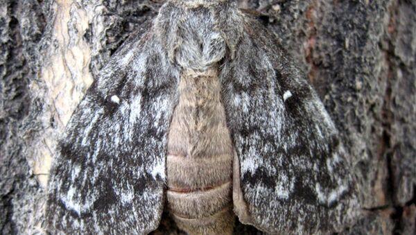 Шелкопряд. Архивное фото