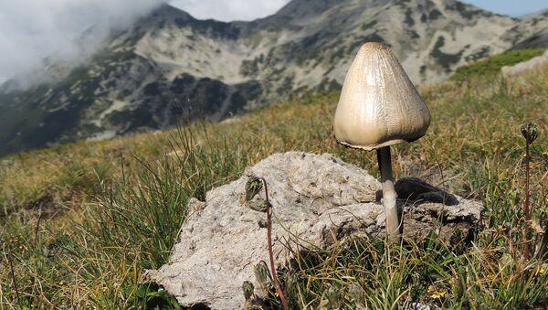 Галлюциногенный гриб в естественной среде