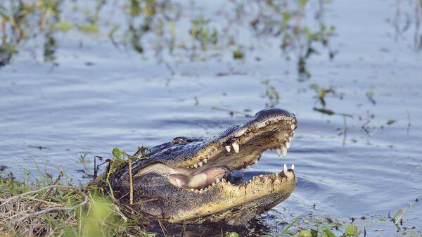 Дикий аллигатор во Флориде