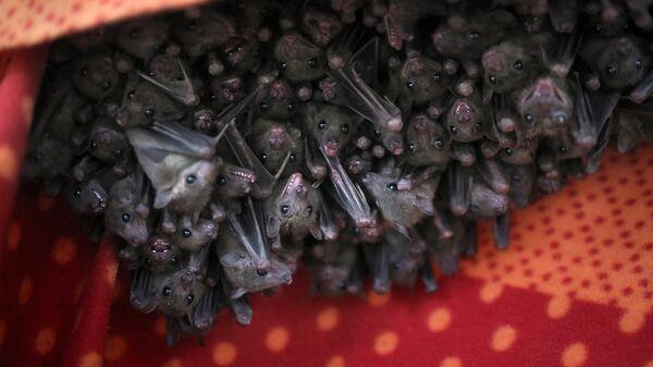 Фруктовые летучие мыши в приюте для летучих мышей в Израиле