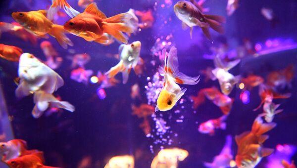 Рыбки в аквариуме. Архивное фото