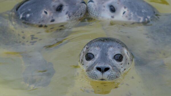 Три детеныша тюленей в бассейне на селекционной станции в Фридрихскоге