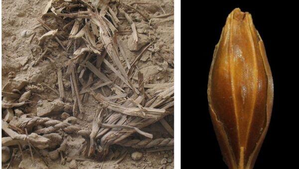 Зерна ячменя возрастом в 6 тысяч лет