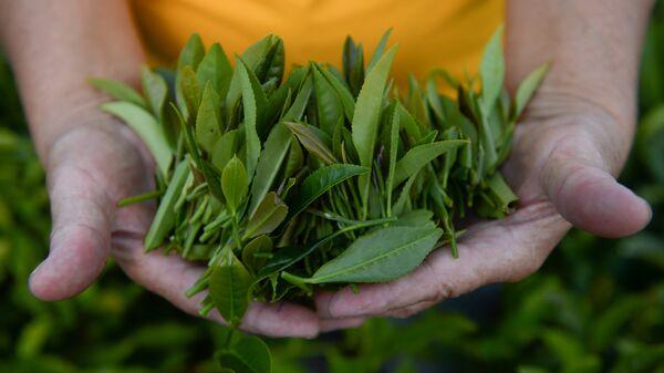 Сортировка чайного листа