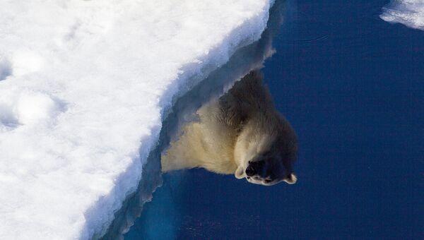 Белый медведь отражается в полынье, Земля Франца-Иосифа, национальный парк Русская Арктика