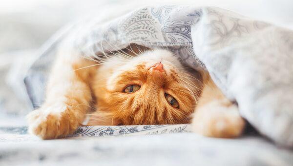 Кот под одеялом. Архивное фото