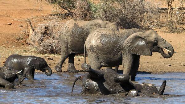Группа слонов купается в водоеме на территории Национального парка Крюгера в ЮАР