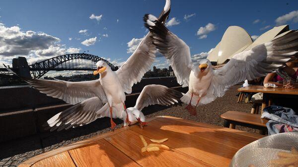 Чайки воруют со стола в ресторане в Сиднее