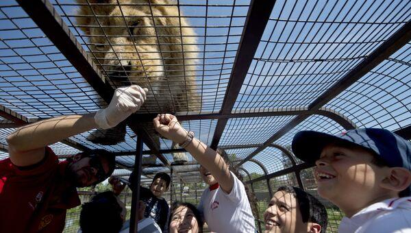 Туристы в Safari Lion Zoo в Ранкагуа в Чили