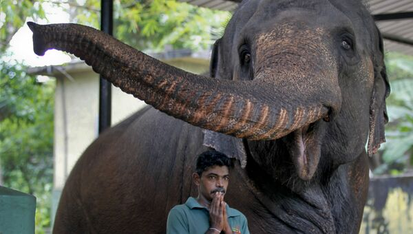 Слон в Национальном зоологическом саду Шри-Ланки