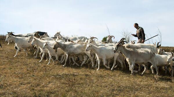Стадо коз зааненской молочной породы из фермерского хозяйства Альфа в селе Смородино Белгородской области