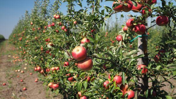 Сбор яблок в Краснодарском крае