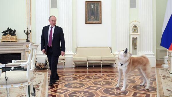 Президент РФ Владимир Путин с собакой Юмэ породы акита-ину перед началом интервью в Кремле телекомпании Ниппон и газете Иомиури. 7 декабря 2016
