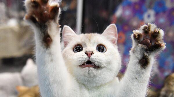 Котенок породы британская на выставке КоШарики Шоу в Москве