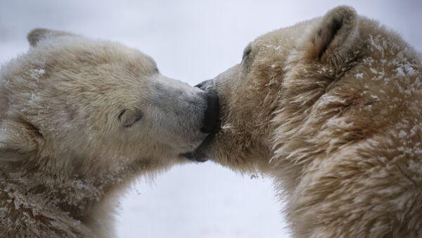 Годовалые белые медвежата в Центре воспроизводства редких видов животных Московского зоопарка в селе Сычево Московской области