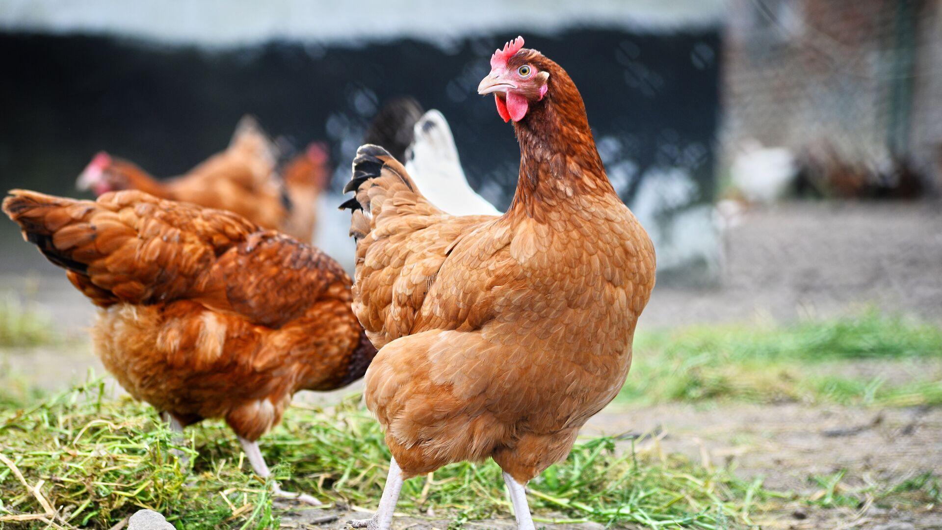 Россельхознадзор ввел запрет на ввоз птицеводческой продукции из Индии