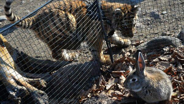 Тигренок Шерхан в Приморском сафари-парке играет с кроликом