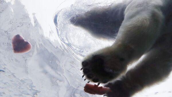 Белый медведь тянется к угощению в форме сердца в зоопарке Детройта, США