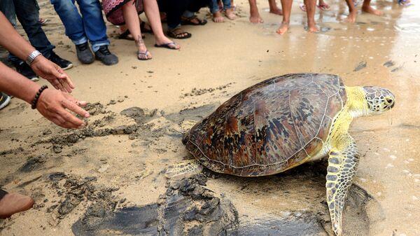 Зеленая черепаха, выпущенная на пляже Куты, Бали