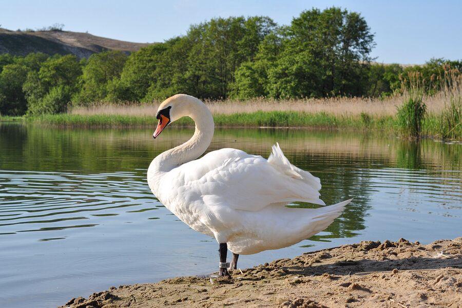 Лебедь в  Национальном парке Куршская коса