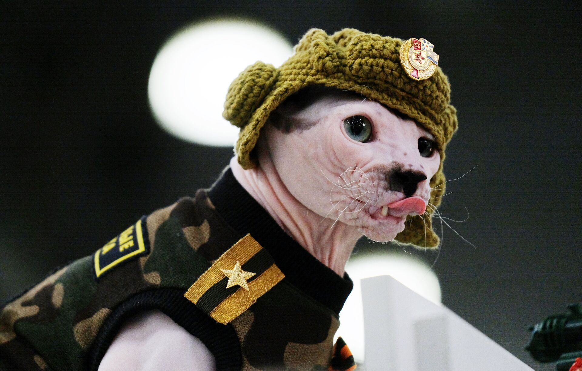 Кошка породы сфинкс в костюме на международной выставке Кэтсбург 2017 в Москве - РИА Новости, 1920, 09.09.2021