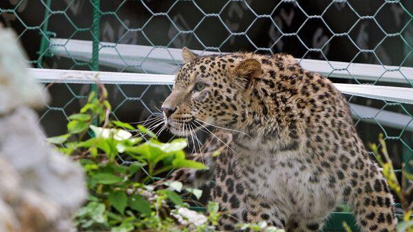 Леопарды Кавказского заповедника успешно пережили зиму в дикой природе