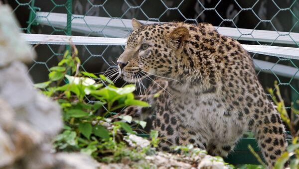 Леопарды Кавказского заповедника успешно пережили зиму в дикой природе. Архивное фото