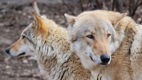 Европейские волки. Архивное фото