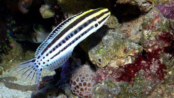 Тропическая рыбка-собачка Meiacanthus grammistes убивает жертв аналогом героина