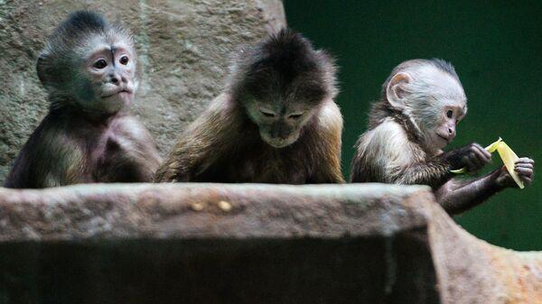 Обезьяны породы капуцин-плакса в Московском зоопарке