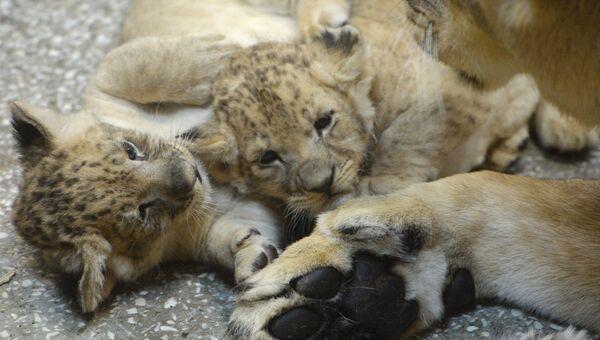 Львята, родившиеся у пары африканских львов Эммы и Эрни, в вольере Екатеринбургского зоопарка
