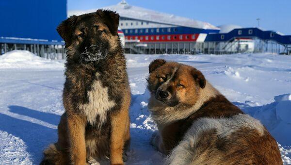Собаки на территории российской военной базы Арктический трилистник на острове Земля Александры архипелага Земля Франца-Иосифа