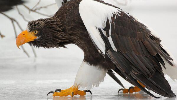 Кроноцкий заповедник. Белоплечий орлан