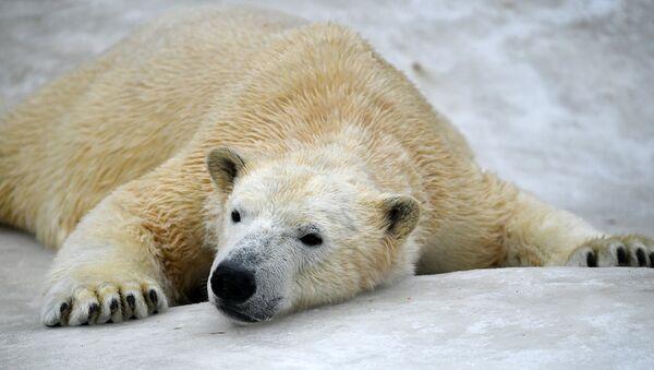 В нацпарке Русская Арктика участились встречи с белыми медведями