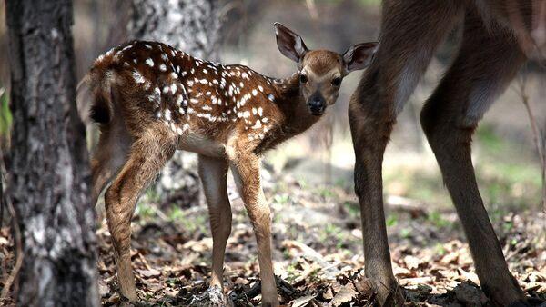 В камчатской тундре появились первые в этом году оленята – каюю