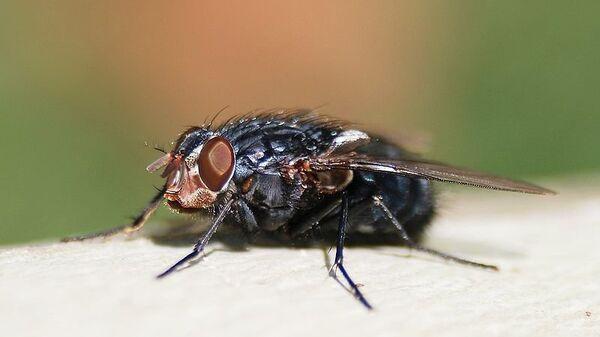 Ученые нашли мощные антибиотики в личинках синей мясной мухи