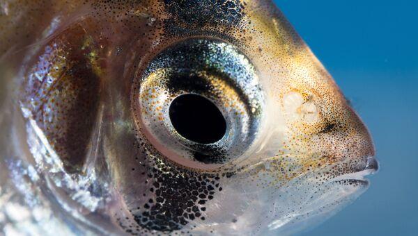 Аквариумная рыбка Барбус суматранский