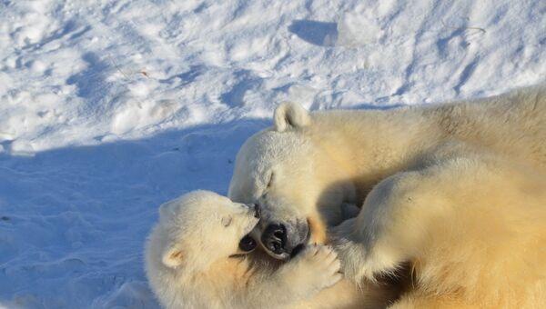 Медведица кормит медвежат молоком до года, постепенно приучая их к мясу