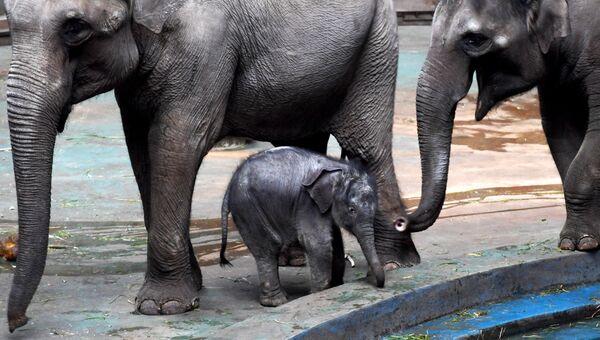 Слоненок, родившийся в Московском зоопарке