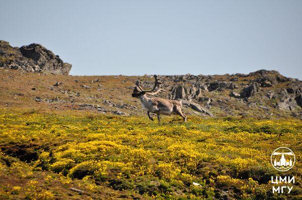 Северный олень, остров Русанова, архипелаг Новая Земля, 2016