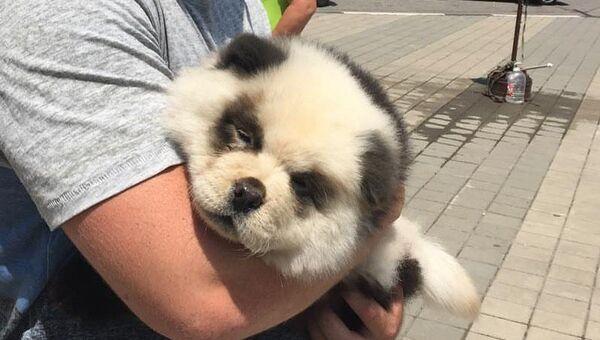 Перекрашенный в панду щенок чау-чау в Сочи