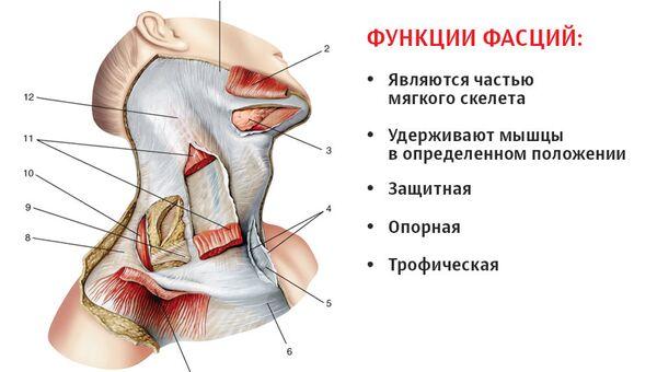 Фасции шеи (по Международной анатомической терминологии), вид справа: 1 — жевательная фасция; 2,7 — подкожная мышца шеи (перерезана и отвернута); 3 - поднижнечелюстная слюнная железа; 4 — поверхностная пластинка фасции шеи; 5— надгрудинное межапоневротическое пространство; 6— ключично-грудная фасция; 8,12 — фасция шеи; 9 — претрахеальная пластинка фасции шеи; 10 — трапециевидная мышца; 11 — грудино-ключично-сосцевидиая мышца