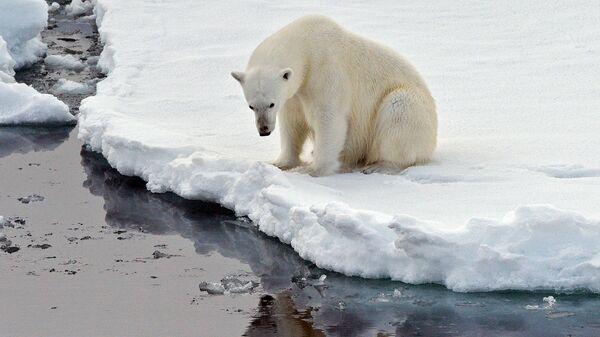 Эксперт: Изменение климата грозит снижением популяции белого медведя