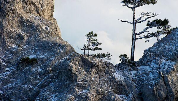 Сосны на горе Ай-Петри в Крыму. Архивное фото